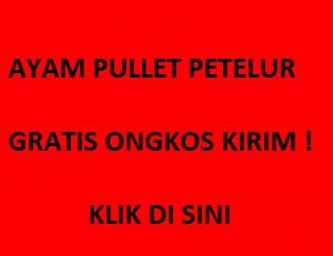 Pullet GRATIS ONGKIR